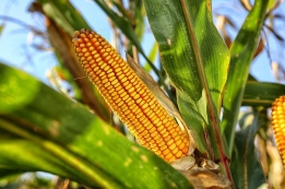 corn-on-the-cob-2083529_640.jpg